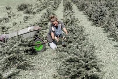 Gärtnerin mit Scheibtruhe hegt und pflegt einen Jungwald bestehend aus etwa einem Meter hohen Nadelbäumen.